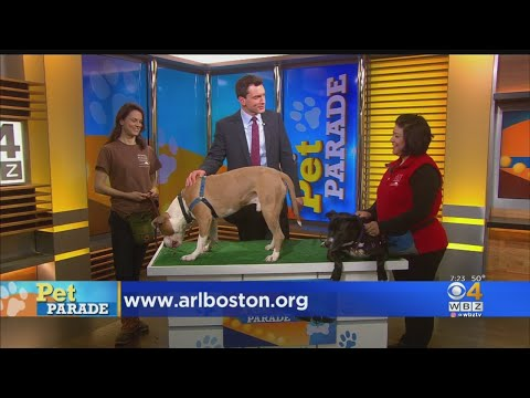 Pet Parade: 3 Pit Bulls From The Animal Rescue League Of Boston
