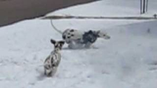 Summit Dalmatians,  Puppies, Mazie And Woodrow, Playing In The Snow