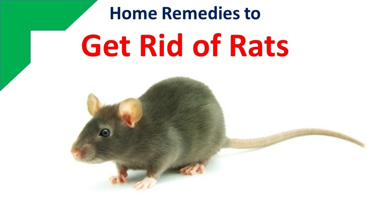 How To Get Rid Of Rats Natural Remedies