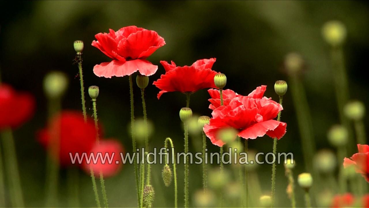 Not opium poppies but regular garden red poppy youtube not opium poppies but regular garden red poppy mightylinksfo