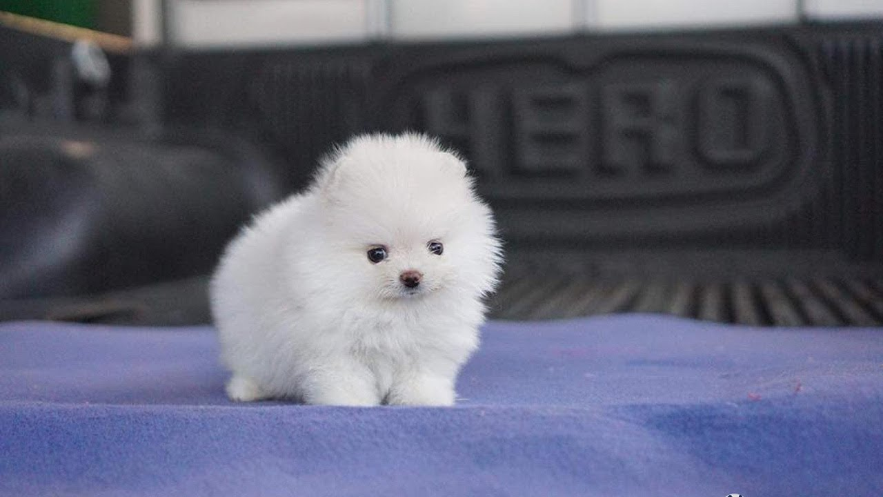 Cute Pomeranian Teacup Puppies Compilation Youtube