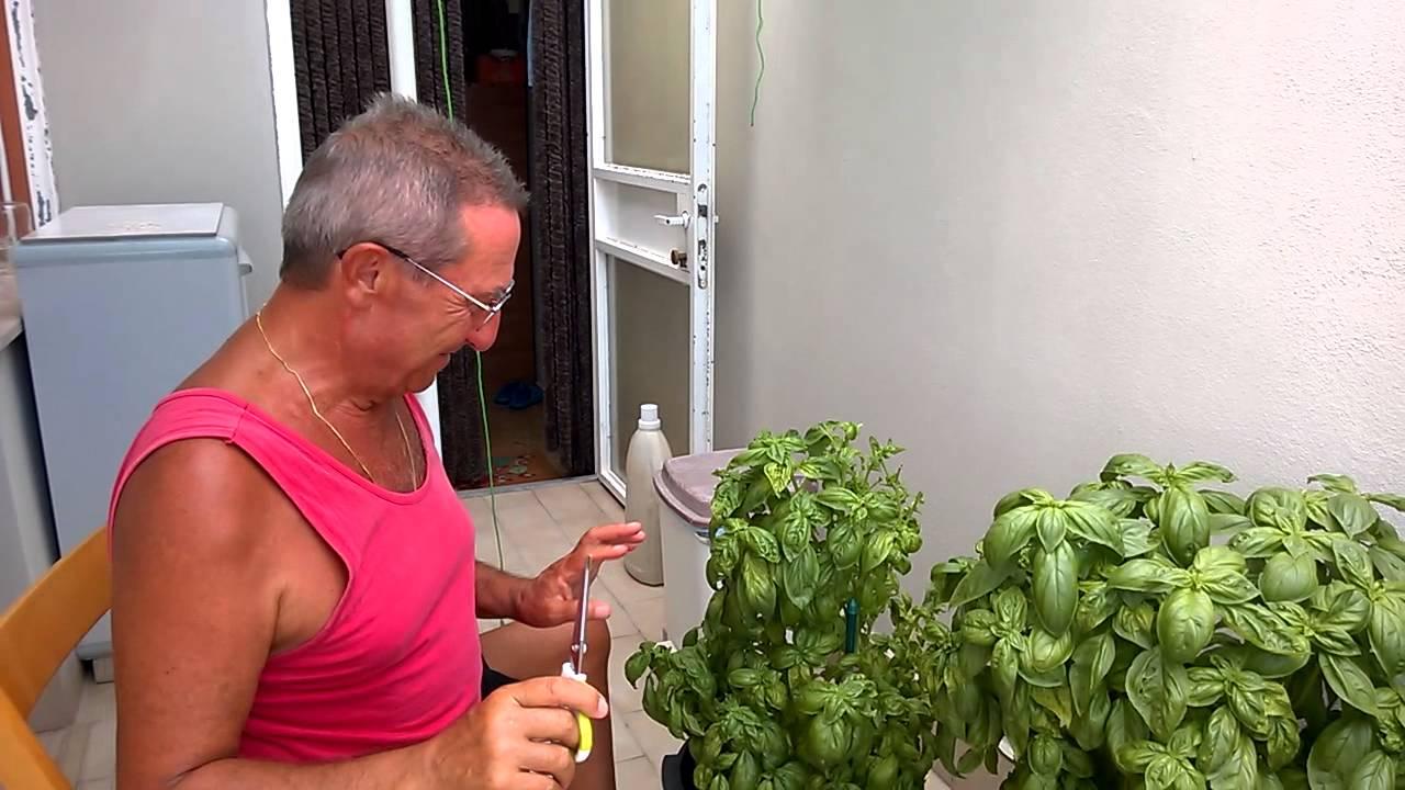 Basilico raccolta 2015 youtube - Come coltivare il basilico in casa ...