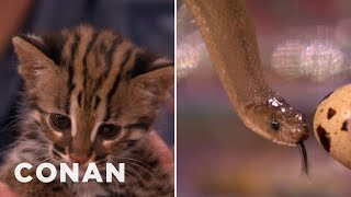 Animal Expert David Mizejewski: Asian Leopard Cat Kitten & African Egg-Eating Snake