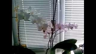 Белая Орхидея. Уход.(, 2015-04-07T14:07:13.000Z)