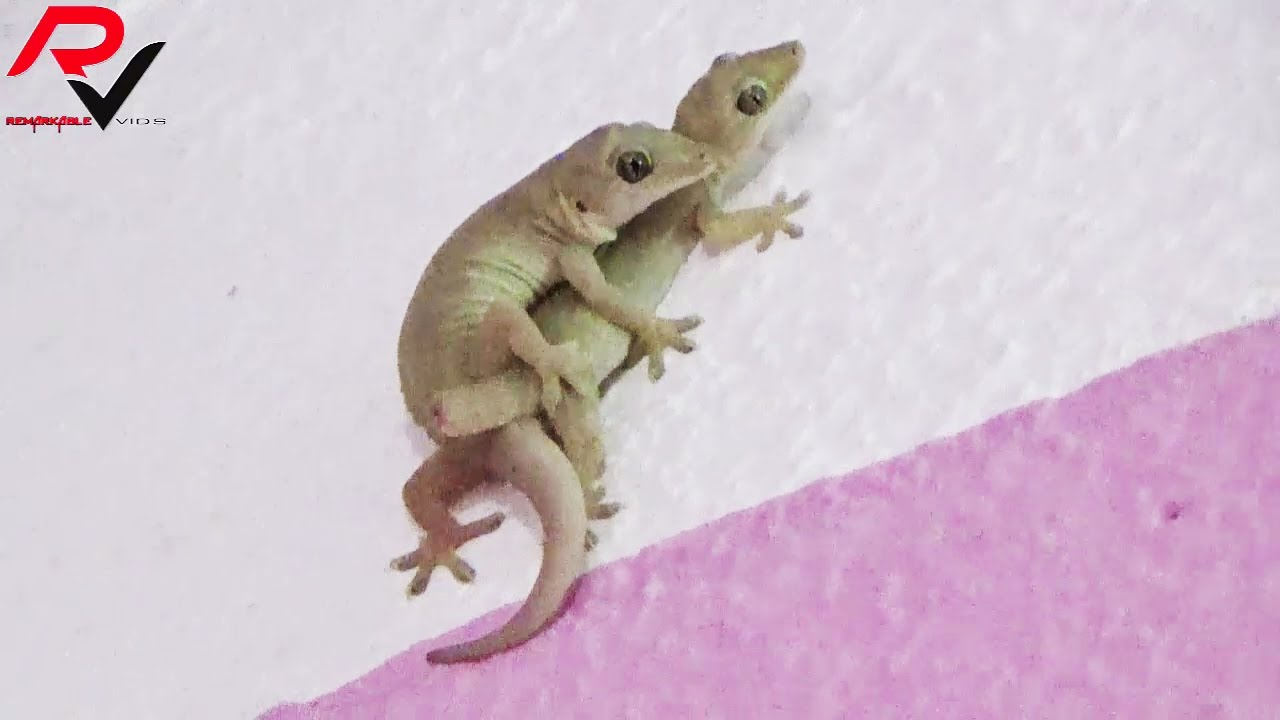 house gecko mating : amazing video - youtube