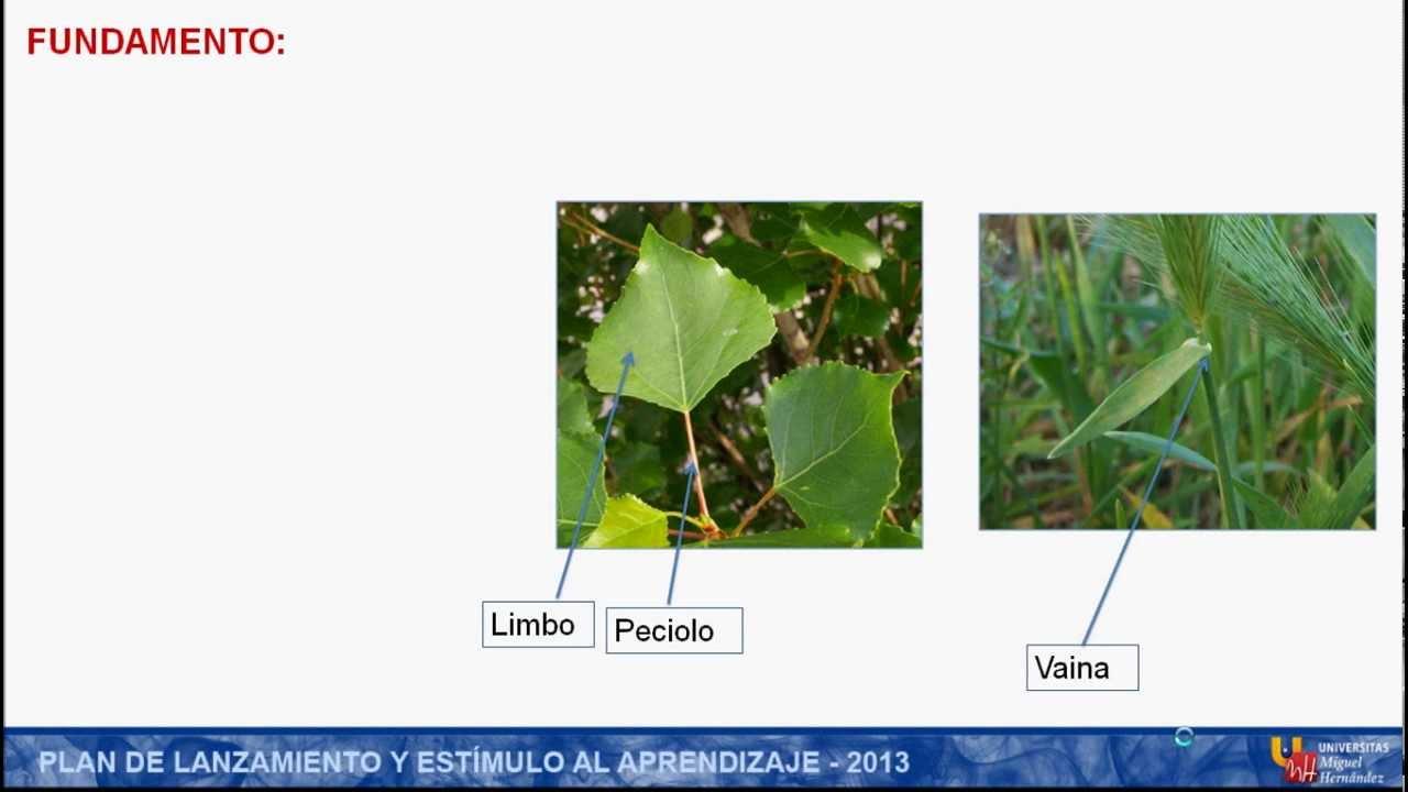 umh1152 2012-13 Práctica 10: Anatomía e Histología de la Hoja - YouTube