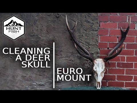European Mount DIY - Cleaning a Sambar Deer Skull - Part 1