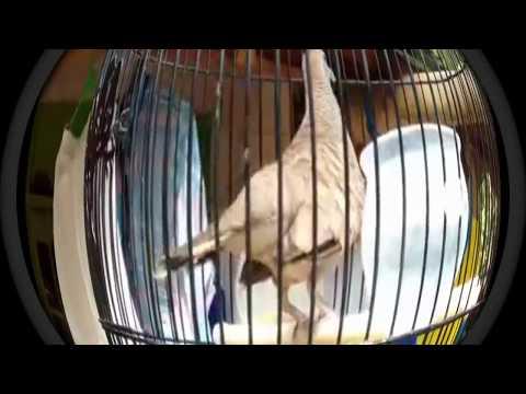 Kicauan Burung Perkutut yang Suda jadi Gacorannya