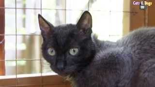 Cats&DogsTV- УДИВИТЕЛЬНЫЙ МИР КОШЕК - УРАЛЬСКИЙ РЕКС / URAL REX CAT, RARE BREED