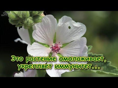 Это растение ОМОЛАЖИВАЕТ, укрепляет ИММУНИТЕТ, от ОТЁКОВ, при САХАРНОМ ДИАБЕТЕ