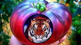 Сибирский тигр - томат экзот для салатов, для души и настроения!
