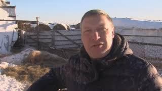 Смесь домашней свиньи и дикого кабана вывел фермер из Тюменской области