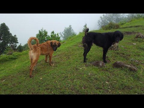 Kashmir Shepherd Dog | Bakarwal Dog | Himalayan Mastiff Dog | Tibetan Mastiff Dog