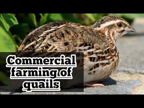 Quail commercially grown..quail farming in pakistan ..quail business