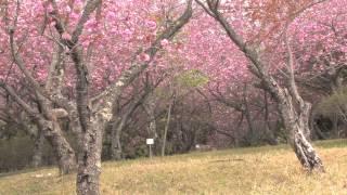 日本の桜の名所100選にも選ばれている茨城県那珂市の「静峰ふるさと公園...