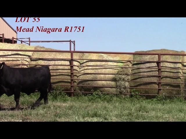 Mead Angus Lot 55