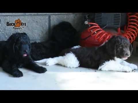 Newfypoo Puppies