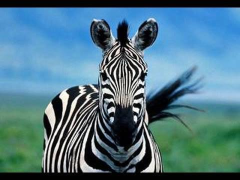 Zebras at the San Diego Zoo (in HD) thumbnail