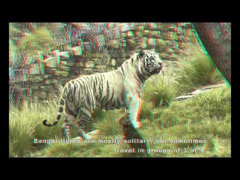3D: 'Tiger Boy meets Tiger Girl' - (3D Anaglyph - Red / Blue 3D Glasses)