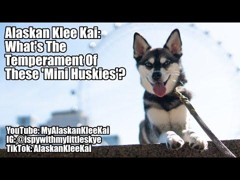Alaskan Klee Kai temperament: What are 'Mini Huskies' like?