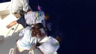 Grand Cayman Blue Marlin Release