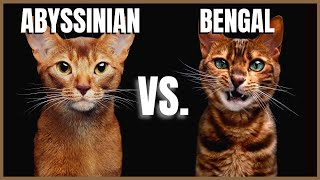 Abyssinian Cat VS. Bengal Cat