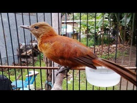 Cucak Emas Papua Gacor Suara Emas Luar Biasa Youtube