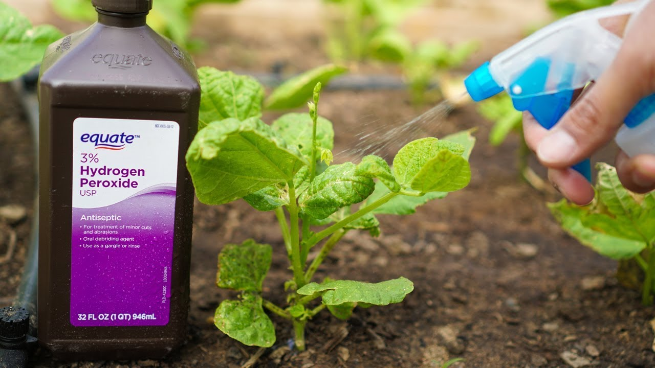 5 Benefits Of Hydrogen Peroxide On Plants And Garden Youtube
