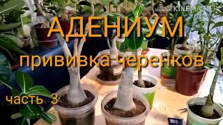 АДЕНИУМ и СУПЕР   КЛЕЙ. Прививка черенков. Часть 3.