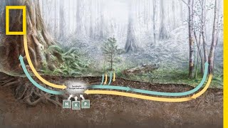 How Trees Secretly Talk to Each Other in the Forest | National Geographic