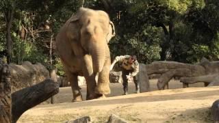 薬を塗ってもらうラニー博子さん    天王寺動物園のアジアゾウ