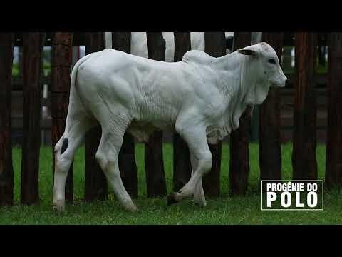 Progênie POLO 111217