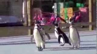 "Magellanic Penguins on ""Ice"""