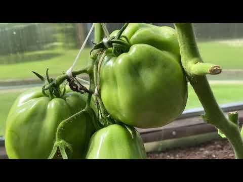 Новинки сортов томатов 2020