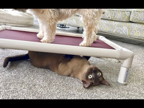 Havanese Dog and Burmese Cat Play Fight Over a Kuranda Bed! Adorable Funny Pets!