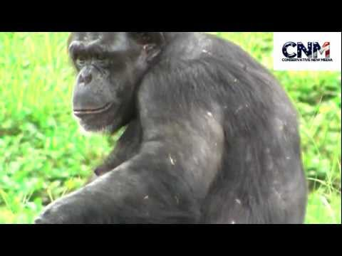 Chimpanzee Shows Its Teeth in 1080P HD - by John D. Villarreal