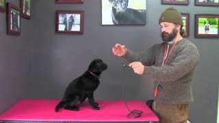 Labrador Retriever puppy's fifth full day at my kennel