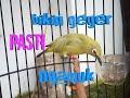 Suara Pleci Betina Bikin Sijantan Geger Ngamuk Ngamuk  Mp3 - Mp4 Download