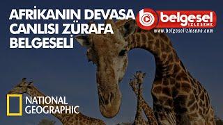 Afrika'nın Devasa Canlısı Zürafa Belgeseli - Türkçe Dublaj