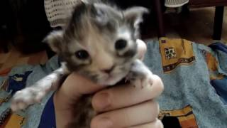 Малыши мейн-кун. Продаются котята с документами в Омске