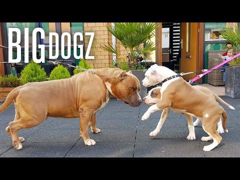 Our Giant Pitbull Family   BIG DOGZ