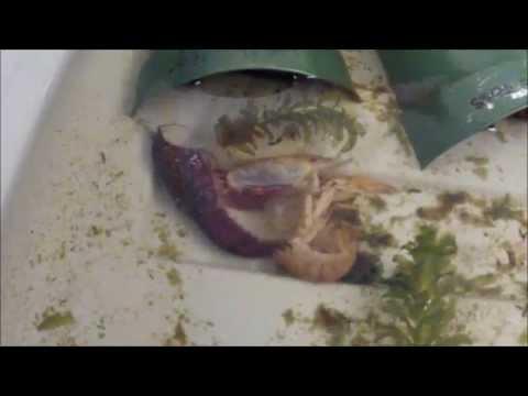 Crayfish Molting 5-14-14