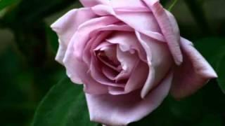 伊那蔵の宿バラ