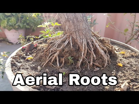 Bonsai ideas : Aerial Roots : How to grow Aerial Roots on Bonsai
