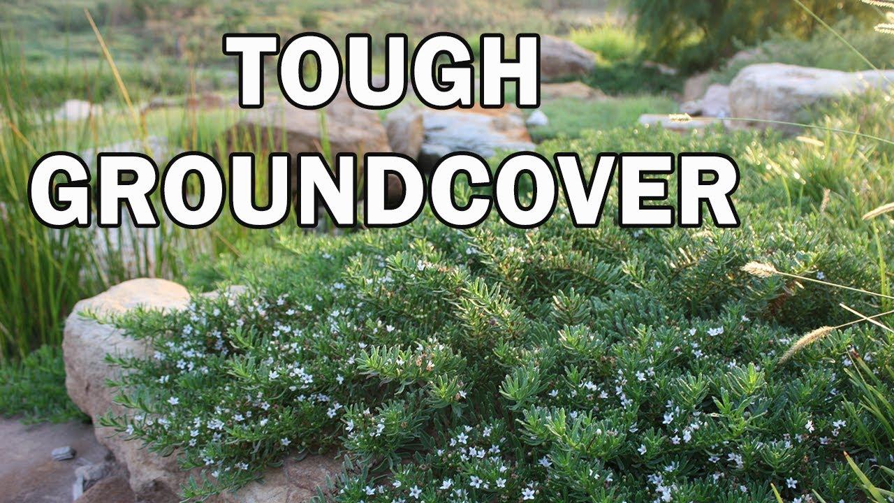Yareena Is A Longer Lived Myoporum Parvifolium Native Shrubs Ground Covers You