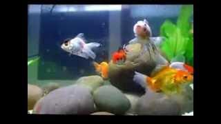MY GOLDEN FISH Ella FitzgeraldSpirituals In the Garden
