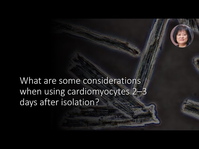 What are some considerations when using cardiomyocytes 2–3 days after isolation?