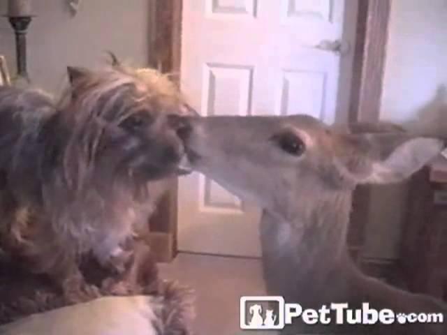 Deer Hair Designer- PetTube