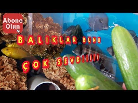 YAVRU BALIKLAR SALATALIK YİYOR, Akvaryum Balıkları, Cichlid Fish