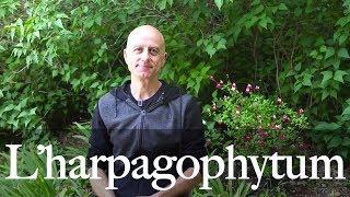 L'harpagophytum ou griffe du diable : antiinflammatoire et analgésique, articulaire et musculaire